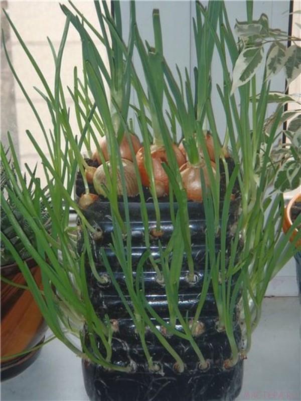 2 cách trồng hành lá siêu đơn giản đủ ăn cho cả gia đình - aFamily