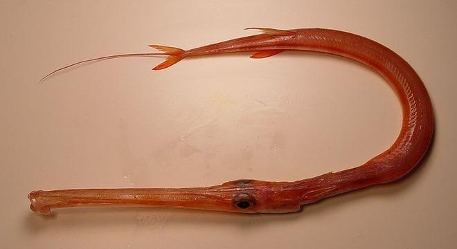 Loại cá dài cả mét mà dân sành ăn đều muốn thử 1 lần trong đời - VCC